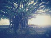 Magnifique arbre, précieusement caché par l'enceinte du temple de Sogenji - Naha - Okinawa