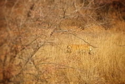 sherkan-le-tigre